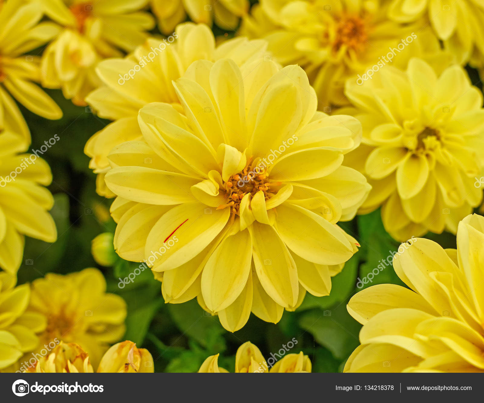Yellow Dahlia Flower Closeup Stock Photo Dimitriosp 134218378