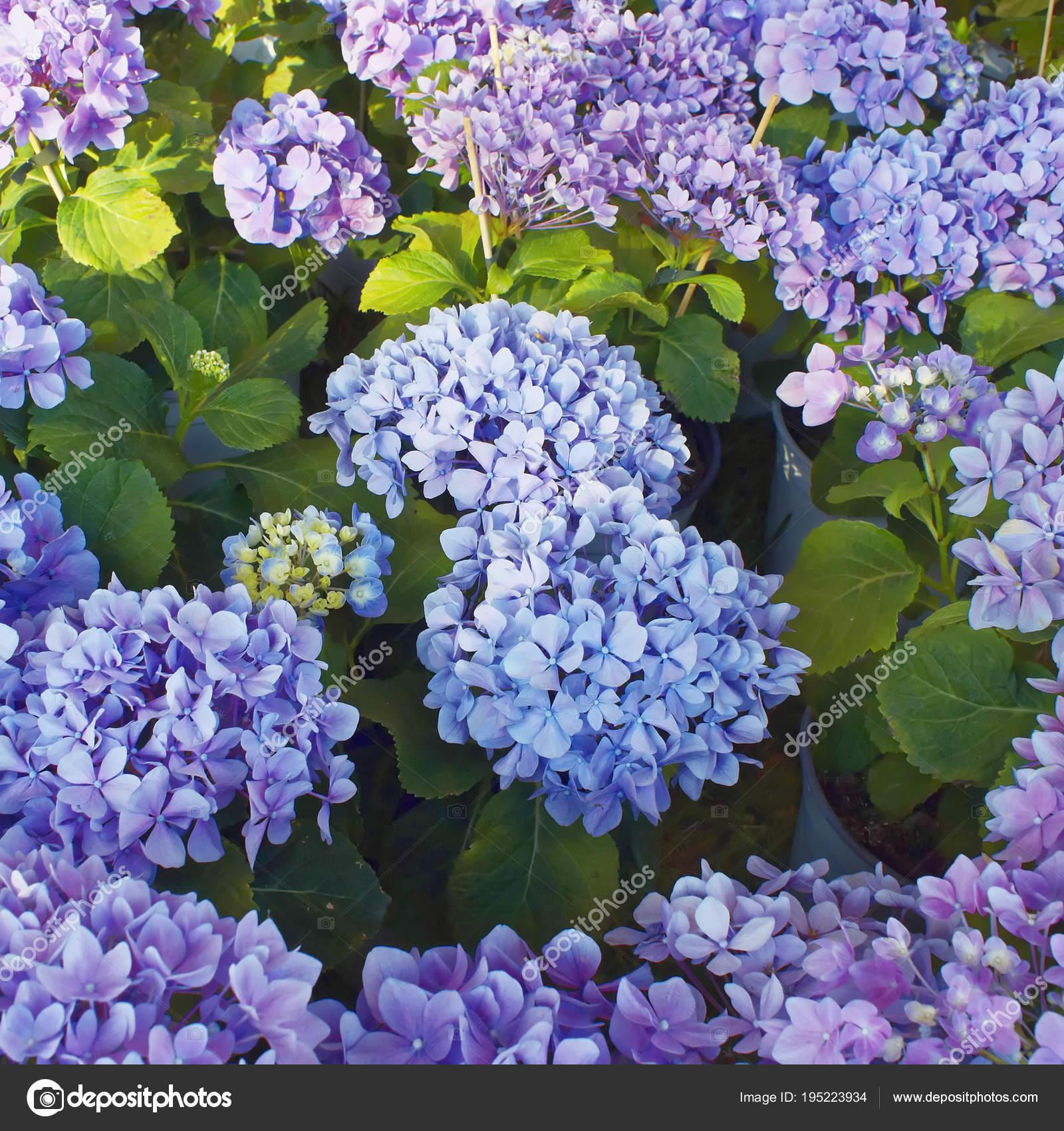 Flores De Jardin Color Violeta Ramos Naturales Flores Hortensia - Color-hortensia