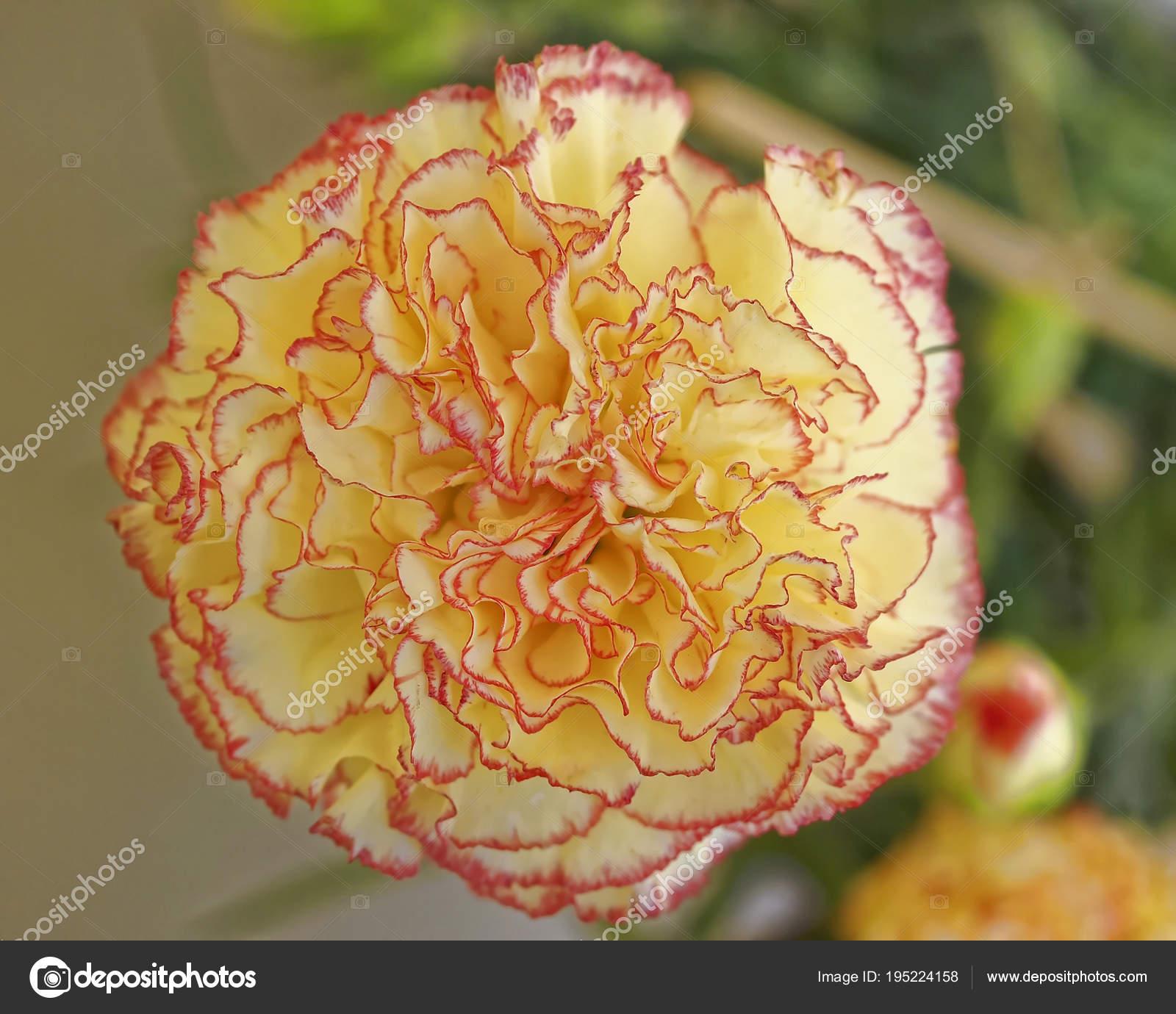 Pale Yellow Pink Carnation Flower Closeup Stock Photo Dimitriosp