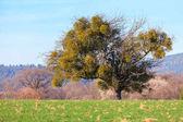 Tree with Mistles
