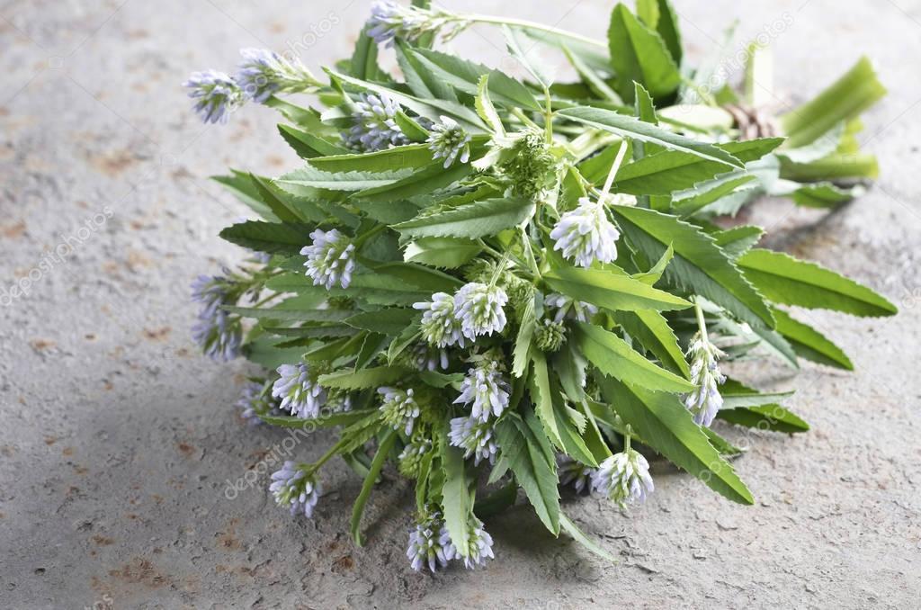 foenum graecum, Fenugreek, Methi, herb with