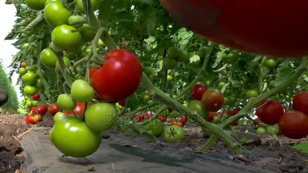 Kitárolási organikusan termesztett paradicsom