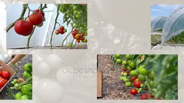 Az üvegházakban paradicsom termelésében bekövetkezett