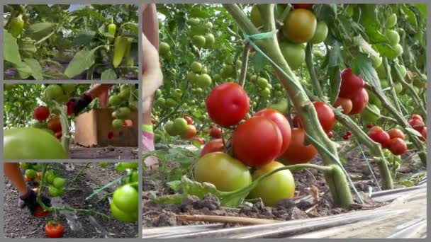 Termelés szerves növényi paradicsom és paprika