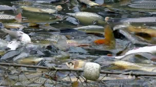 Pěstování a sklizeň ryb v rybím hospodářství