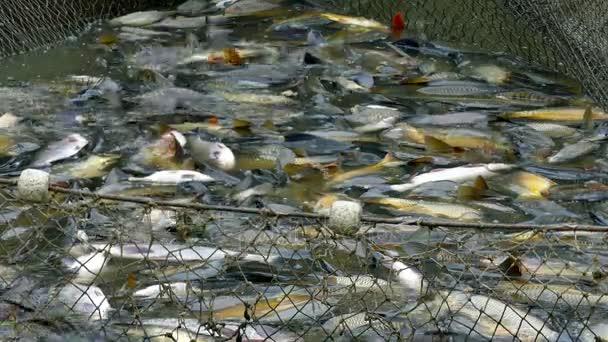 Kapr v rybářských sítí v rybím hospodářství