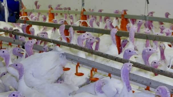 White turkeys on the farm