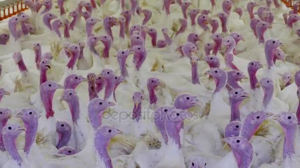 Fattening turkeys on a farm