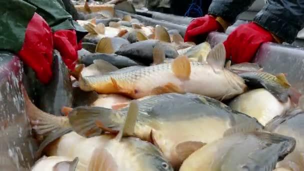 Fresh fish in the hands of fishermen