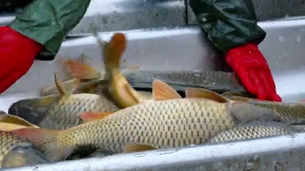 Túlhalászás és osztályozása Carp fish