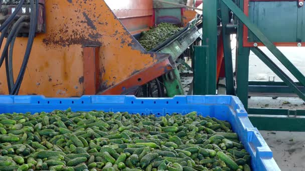 Cucumbers in the processing plant