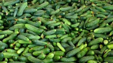 Young green cucumber used for pickling