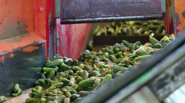 Gherkins on the line processing
