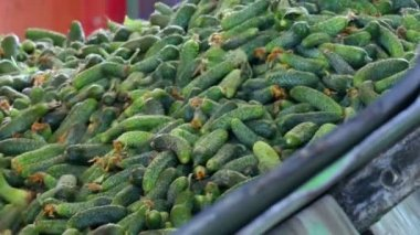 Fresh Gherkins for Processing / Production line for calibration and processing of cucumbers