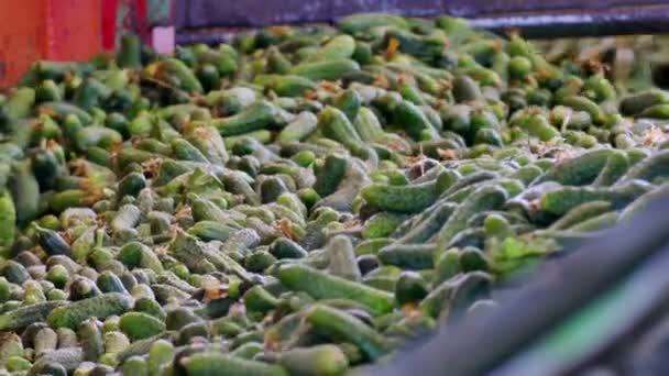 Freshly Harvested Gherkins for Further Processing / Production line for calibration and processing of cucumbers