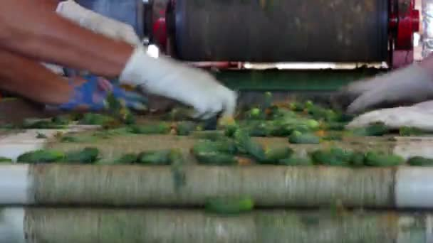 Cucumbers on the Packaging Line / Production line for calibration and processing of cucumbers