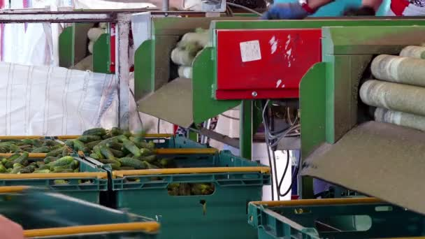 Cucumbers for pickling in the production plant / Production line for calibration and processing of cucumbers