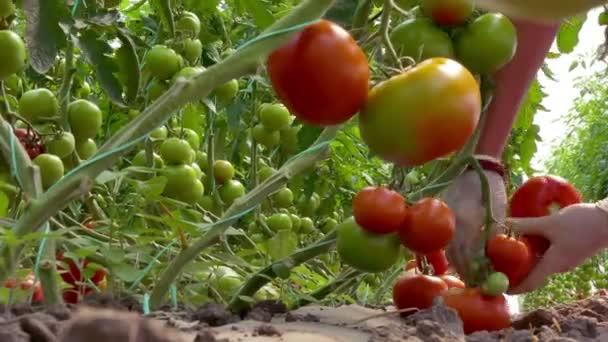 Bioparadicsom ültetvény / szedés bioparadicsom termelt az üvegházhatást okozó