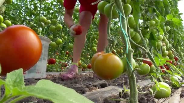 Sběr bio rajčata ve skleníku / výdej organických rajčat ve skleníku