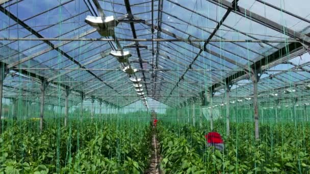 Greenhouse for Organic Growing Vegetables / Farmers harvested ripe organic vegetables in a greenhouse
