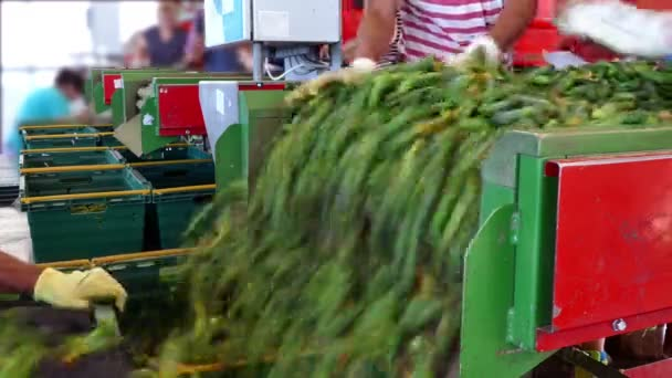 Line for packing raw cucumbers / Production line for calibration and processing of cucumbers