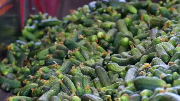 Processing of Raw Cucumber / Production line for calibration and processing of cucumbers