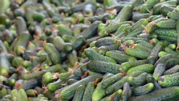 Production of Pickling Cucumbers / Production line for calibration and processing of cucumbers