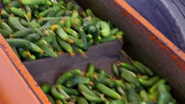 Transport Gherkins on Processing / Production line for calibration and processing of cucumbers
