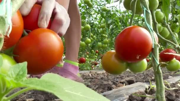 Sezóna sklízení zeleniny ve skleníku / výdej organických rajčat ve skleníku