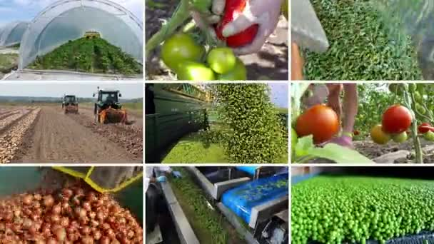 Bio zöldség termesztése / növekvő és különféle zöldségek gyártása