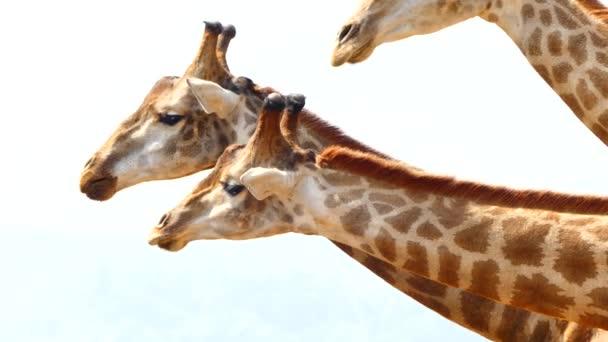 Žirafy stádo jíst vlevo v zoo
