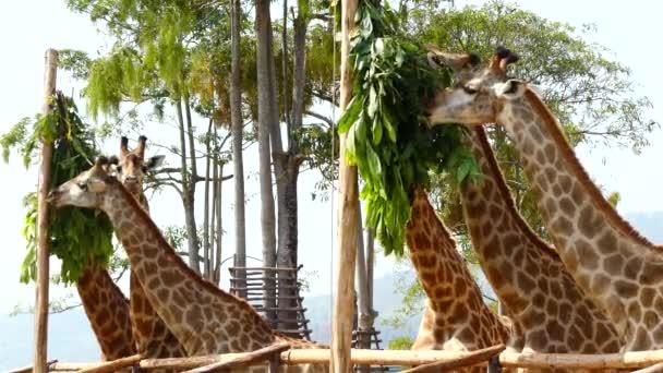 Zsiráfok csorda eszik balra az állatkertben
