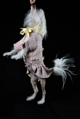 Chinese crested dog on a black background