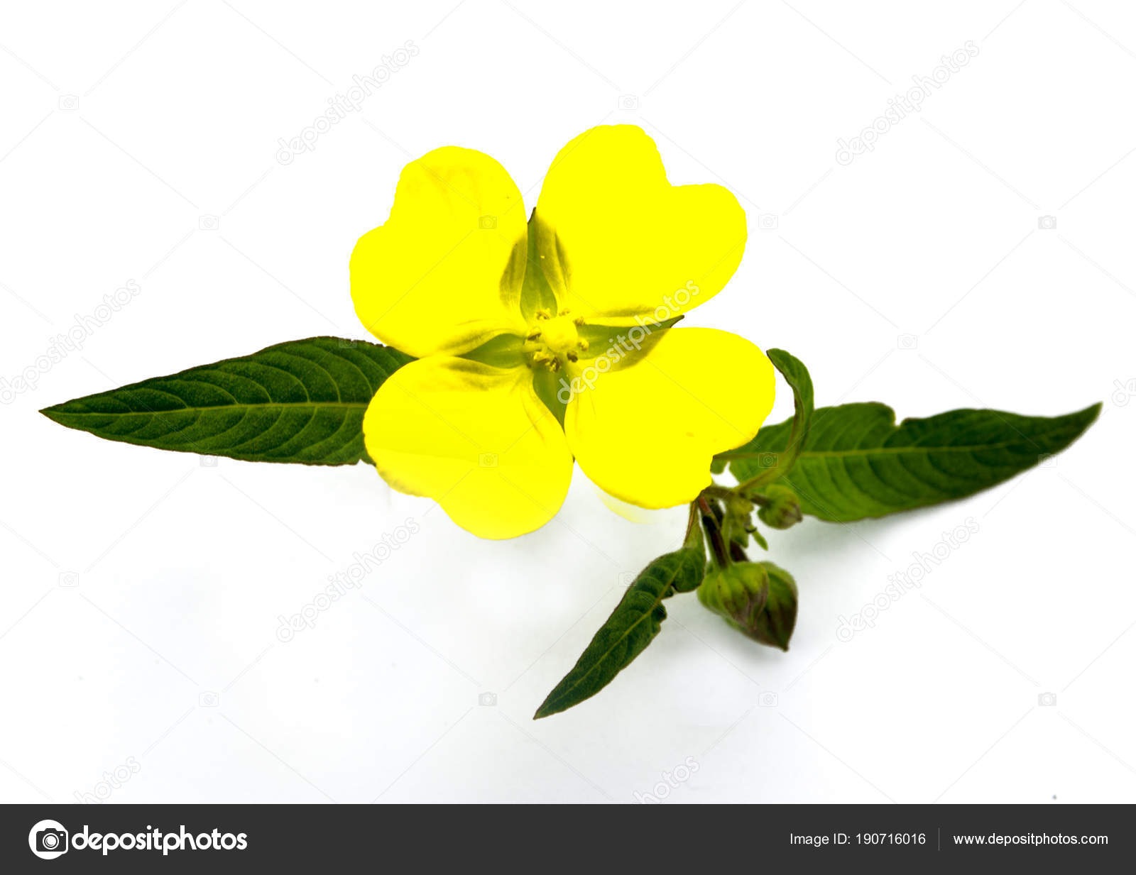 Yellow Flower Four Petals Several Green Leaves White Background