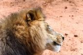 Leone da vicino al Naankuse Wildlife Sanctuary, Namibia, Africa