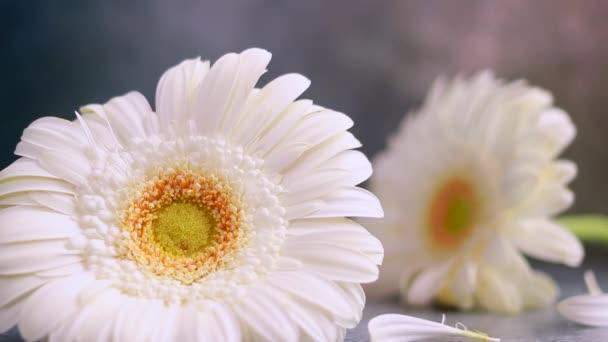 Tři bílé gerber květ na tmavě šedé mramorové pozadí