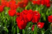Csoport szép piros tulipán nő a kertben, megvilágított Mátravölgyi Norbert