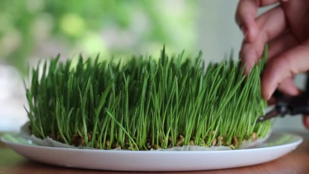 Cutting microgreen. Growing Organic Micro Greens for Restaurants