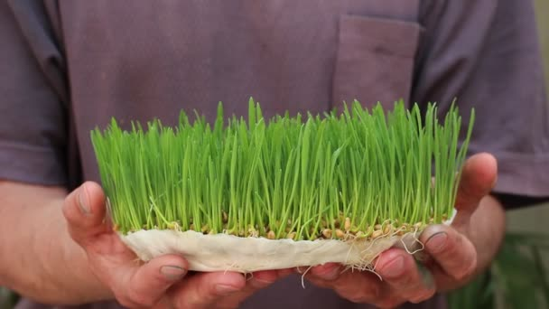 Microgreens Business. The Micro Gardener. Male worker. Selling Microgreens to the Restaurants