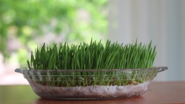 Microgreens. Raw food diet. Eating sprouts. Wheatgrass. Green Grass