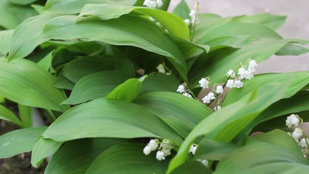 Lily of the valley. Convallaria majalis blossom