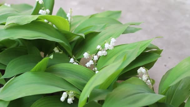 May lily. The flower is also known as Our Ladys tears or Marys tears from Christian legends
