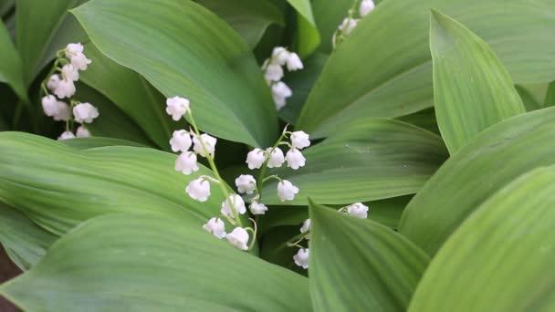 May bells. May lily, Lily of the valley, Convallaria, and muguet
