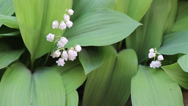 Lily of the valley. The flower is also known as Our Ladys tears or Marys tears from Christian legends