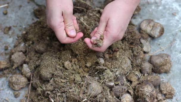 Use Horses Manure Garden Fertilizer Composting Horse Manure Gardener Hands  U2014 Stock Video