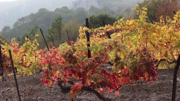 Podzimní barva listů na vinici. Podzim na vinici, na podzim listí