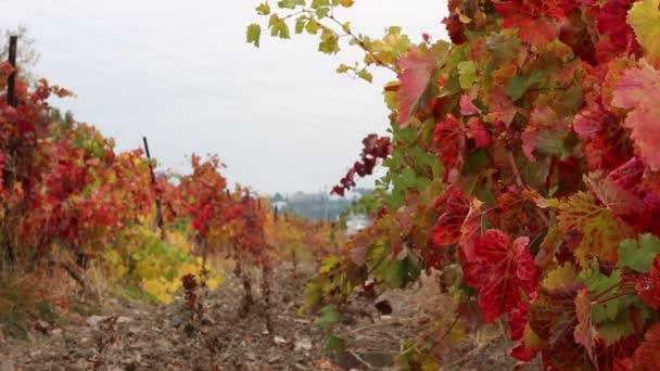 Vinice s Fall vkus. Podzimní listí - vinařství