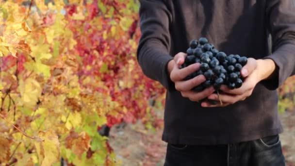 Vinolog pěstuje vinice vinařství. Vinice a vinařství. Vinaři dává čerstvé sklizně hroznů