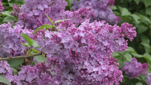Spring flowers lilac