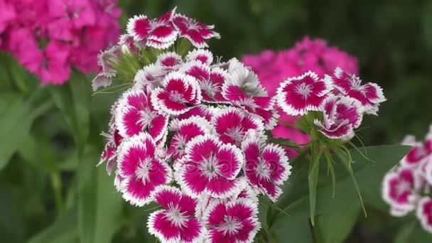 Flower carnation Turkish (Dianthus barbatus)